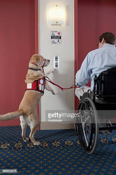 Service dog pushing button for elevator with a man in a wheelchair