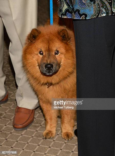 Service dog Teddy Bear of actor Peter Marshall and Laurie Marshall attends Actors And Others For Animals' Joy To The Animals luncheon fundraiser at...