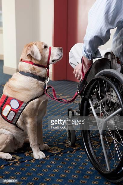 service dog with a man in a wheelchair at an elevator - servicehund stock-fotos und bilder