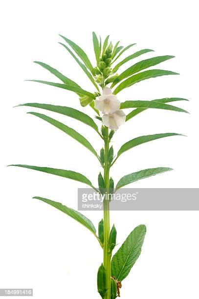 sesame plant - sesame stock pictures, royalty-free photos & images