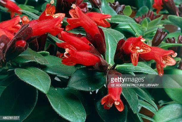Seschynanthus Mona Lisa Gesneriaceae