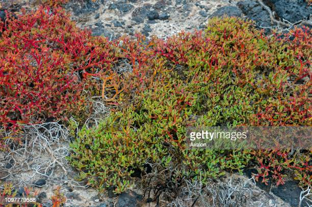 Sesuvium edmonstonei plants on South Plaza Island in the Galapagos Islands Ecuador