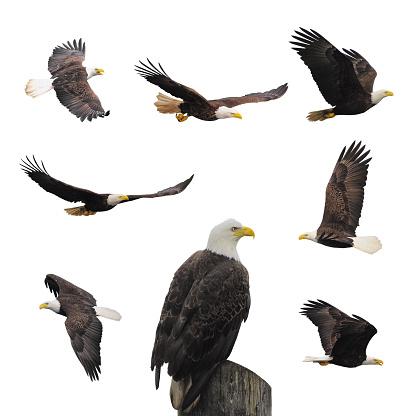 Set bald eagles. 499923496