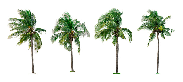 Set of coconut tree isolated on white background used for advertising decorative architecture. Summer and paradise beach concept. Tropical coconut tree isolated. Collection of four coconut palm tree. 1084763136
