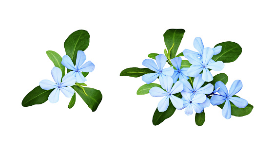 Set of composition with plumbago flowers and leaves 1130666064