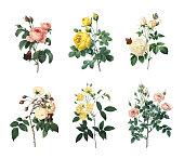 Set of various roses | Antique Flower Illustrations