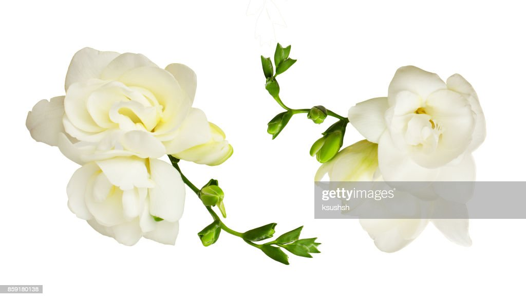 Set Of White Freesia Flowers Stock Photo Getty Images