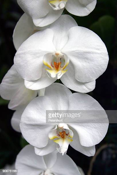 A set of white orchids on a black background