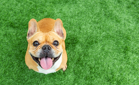 Set of young puppy french bulldog playing and activity around the house both indoor and outdoor 1175647482