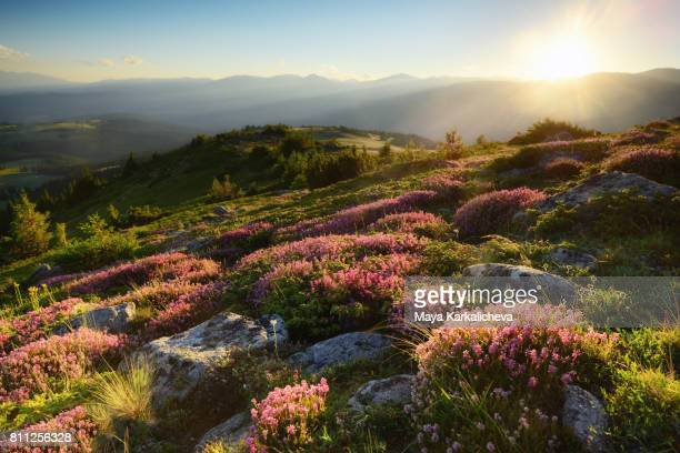 setting sun over pink flowers - fleurs des champs photos et images de collection