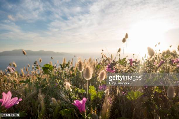 Setting sun, seen through grasses and flowers