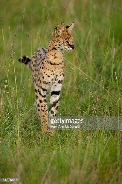 Seval hunting in long grass in the Masai Mara Game Reserve