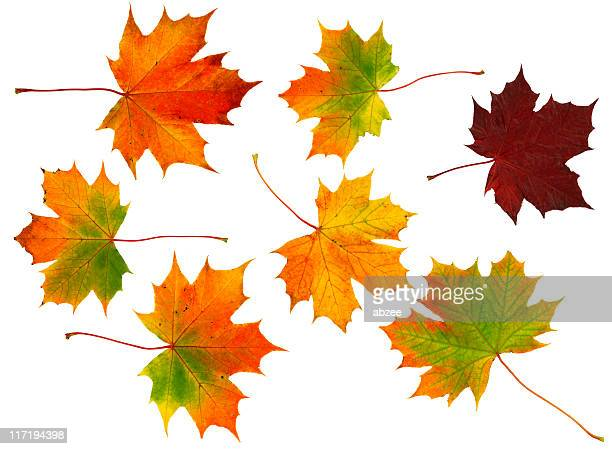 seven autumn leaves - sycamore tree stock photos and pictures