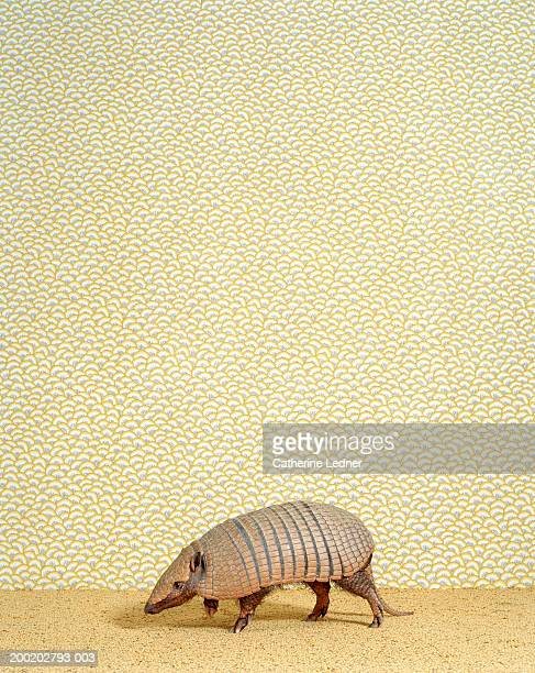 seven banded armadillo (dasypus septemcinctus) on carpet - armadillo stock pictures, royalty-free photos & images