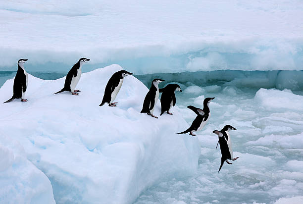 Seven chinstrap penuins queueing, Antarctica