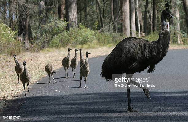 Seven juvenile emu chicks with an adult emu on the Alpine Way near Thredbo 6 December 2006 SMH NEWS Picture by ANDREW MEARES