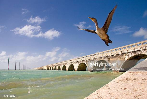 seven mile bridge and immature double-crested - seven mile bridge stock pictures, royalty-free photos & images