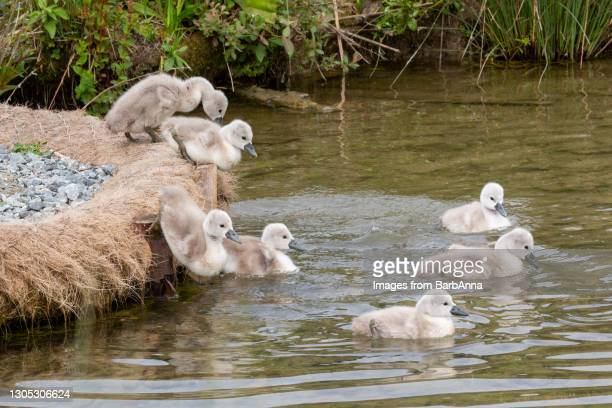 seven mute swan cygnets jumping into the water - medium group of animals stock pictures, royalty-free photos & images