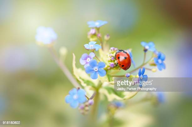 Seven Spot Ladybird - Coccinella septempunctata, on Spring forget-me-Not blue flowers