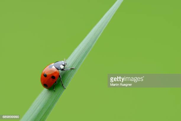 seven spot ladybird (coccinella septempunctata), green background. - ladybug stock pictures, royalty-free photos & images