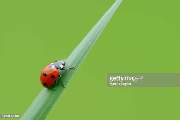 seven spot ladybird (coccinella septempunctata), green background. - ladybird stock pictures, royalty-free photos & images
