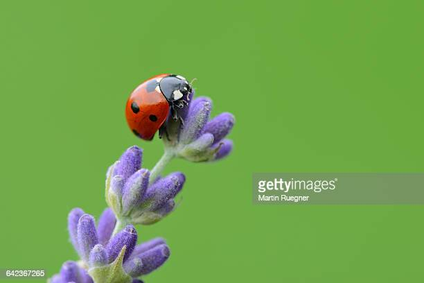 seven spot ladybird on lavender. - coccinella foto e immagini stock