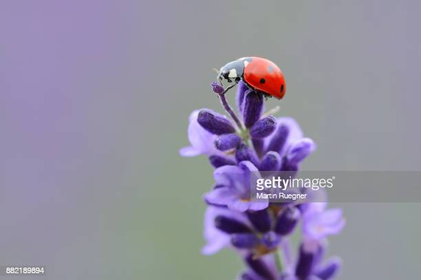 Seven spot Ladybird (Coccinella septempunctata) on lavender.