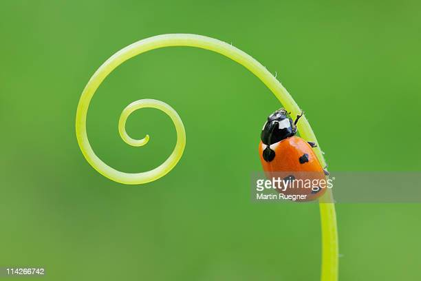 seven spot ladybird  (coccinella septempunctata). - ladybird stock pictures, royalty-free photos & images