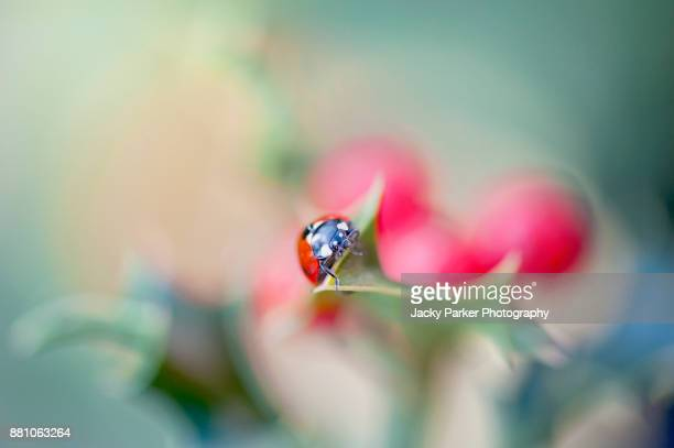 seven spot ladybird resting on a holly leaf with red berries in the background - seven spot ladybird stock pictures, royalty-free photos & images