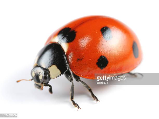 a seven spotted ladybug on a white background - ladybug stock pictures, royalty-free photos & images