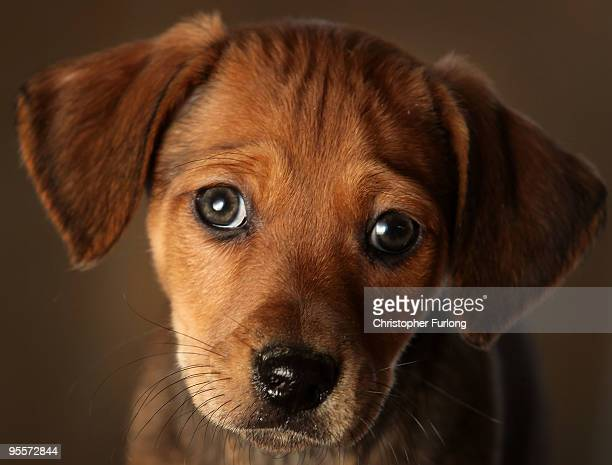 Seven week old Daschund cross puppy waits to be re-homed at the Cheshire Dogs Home on January 4, 2010 in Warrington, England. The puppy is one of...
