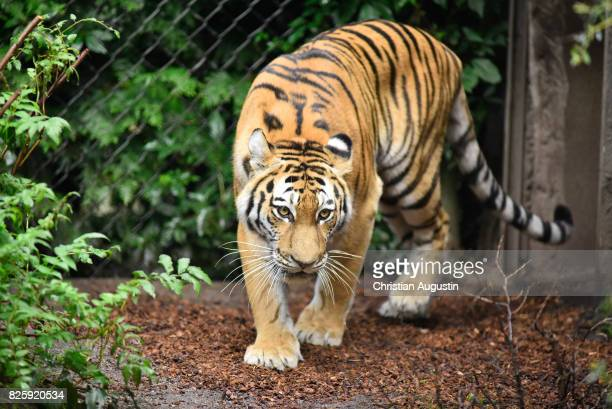 Seven week old newborn Amur tiger cubs play with their mother Maruschka in their enclosure at Tierpark Hagenbeck on August 3 2017 in Hamburg Germany
