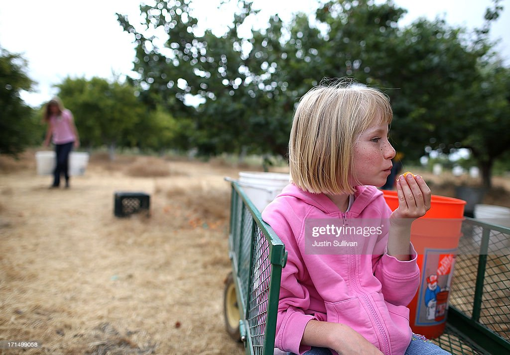 Seven year-old Village Harvest volunteer Beth Hays takes a break to eat a freshly picked apricot during the harvest of apricot trees at Guadalupe Historic Orchard on June 25, 2013 in San Jose, California. Village Harvest and other San Francisco Bay Area nonprofit groups are volunteering to pick excessive fruit from homeowners' yards and other plots of land to donate to food banks, soup kitchens and organizations that help the needy. Urban harvesting, or gleaning, aims to collect fruit that normally goes to waste after it goes unpicked and falls to the ground. Village Harvest has donated thousands of pounds of fruit to local organizations.