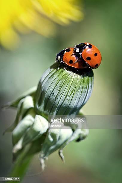 sevenpoint ladybeetles mating on dandelion - tierpaarung stock-fotos und bilder