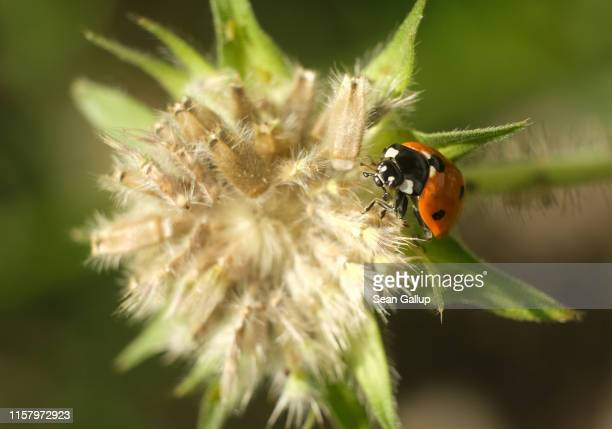 A sevenspot ladybird beetle crawls among flowers at a new urban green space at the Freie Scholle housing estate in Reinickendorf district on June 21...