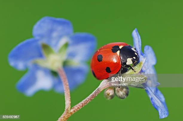seven-spot ladybird, coccinella septempunctata, on blue blossom in front of green background - seven spot ladybird stock pictures, royalty-free photos & images