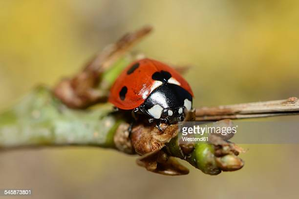 seven-spot ladybird, coccinella septempunctata, sitting on twig - seven spot ladybird stock pictures, royalty-free photos & images