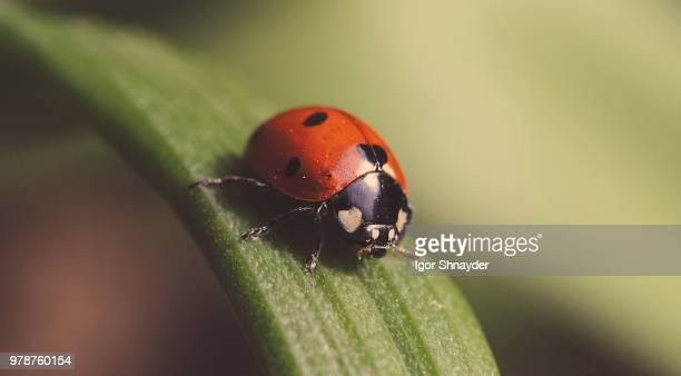 seven-spot ladybird (coccinella septempunctata) in close-up - ladybird stock pictures, royalty-free photos & images