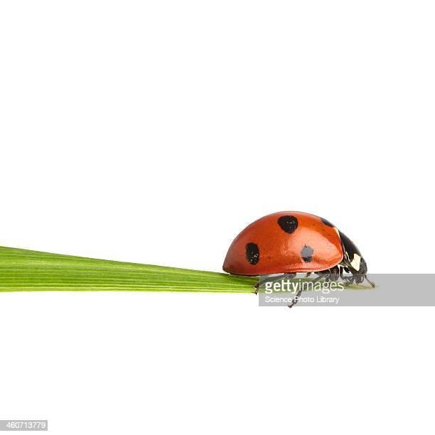 seven-spot ladybird - coccinella foto e immagini stock