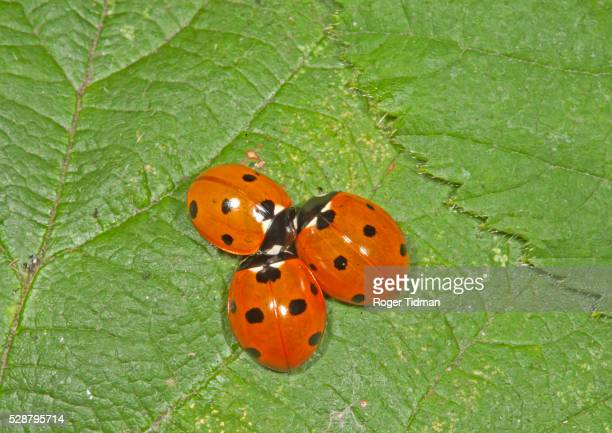 seven-spot ladybird - seven spot ladybird stock pictures, royalty-free photos & images