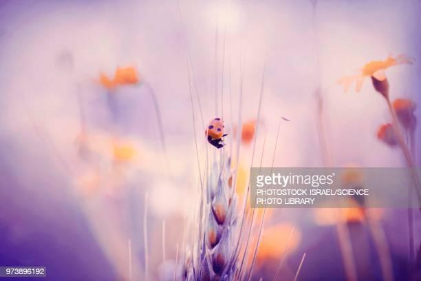 seven-spot ladybird - photostock stock photos and pictures