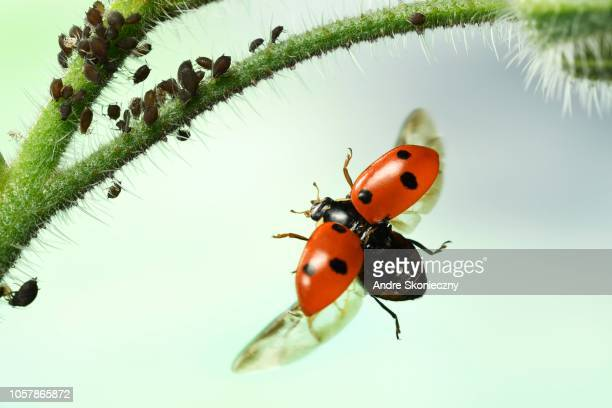 seven-spott ladybird (coccinella septempunctata), on approach, stalk of borage with aphids (aphidoidea), germany - aphid stock pictures, royalty-free photos & images
