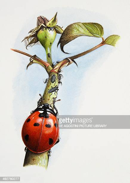 Sevenspotted Lady Beetle on a branch in search of aphids or plant lice Artwork by Steve Roberts