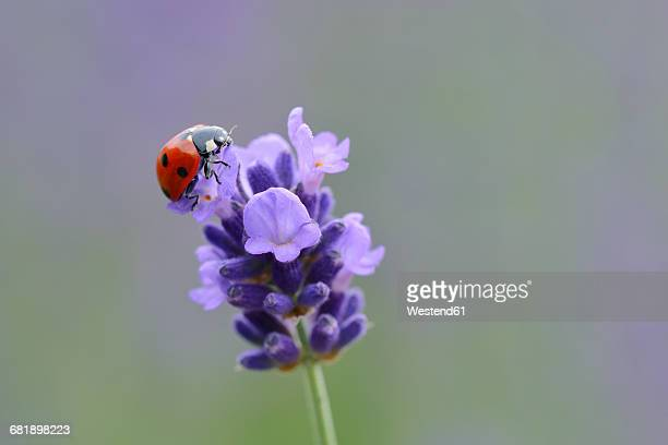 seven-spotted ladybird on lavender blossom - seven spot ladybird stock pictures, royalty-free photos & images