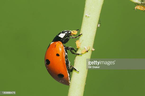 seven-spotted ladybug (coccinella septempunctata), adult eating aphids (aphidoidea), sinton, corpus christi, coastal bend, texas, usa - aphid stock pictures, royalty-free photos & images
