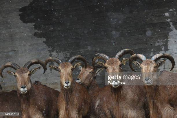 Several Barbary sheep pictured at Madrid zoo during a snowfall