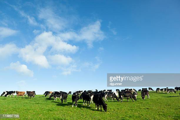 several dairy cows eating grasses on the field - dairy cattle stock pictures, royalty-free photos & images