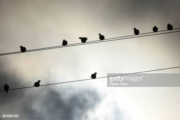 Several doves sit on power lines in the small village of Nepas north of Spain The first specimens of the Eurasian collared dove one of the great...