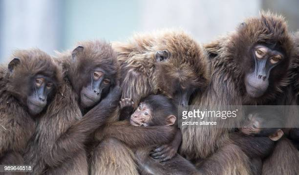 Several female Gelada baboons also known as the bleedingheart baboons cuddle with their offspring to stay warm at the Wilhelma zoo in Stuttgart...