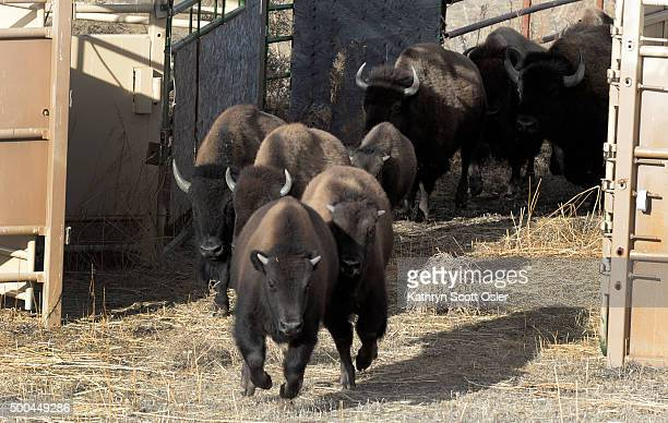 Several from the herd are gathered in a group and the gates are opened so the animals can enter into an open pen Officials from the US Fish and...